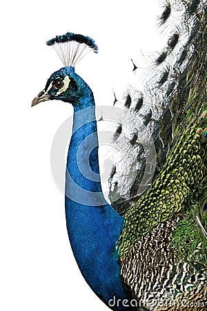 Free Profile Of Male Indian Peafowl Stock Photo - 15361120
