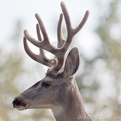 Free Profile Of Mule Deer Buck With Velvet Antler Stock Photography - 21264672