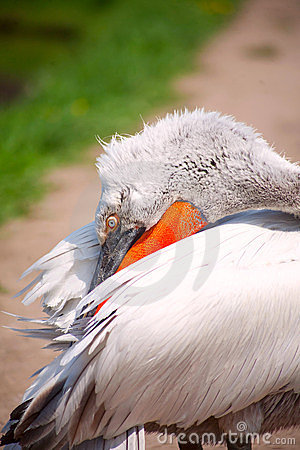 Profile of pelican