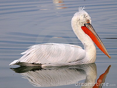 Profile of Pelican on lake