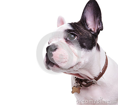 Free Profile Picture Of A Cute French Bulldog Looking To Side Royalty Free Stock Photo - 85148885