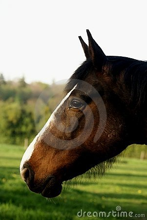 Profile portrait of a brown aware horse