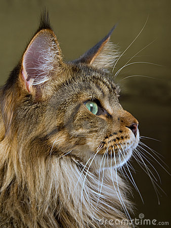 Profile portrait of Maine Coon cat