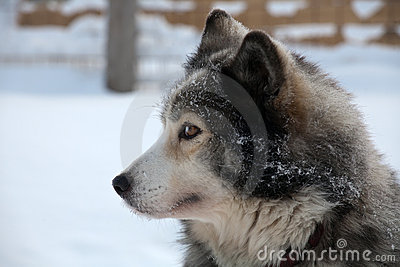 Profile portrait of  sled dog