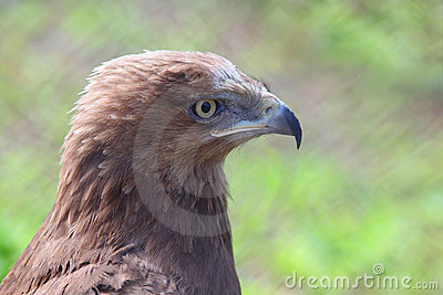 Profile of predatory bird hawk Stock Photo
