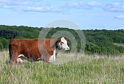 Profile of red polled hereford cow