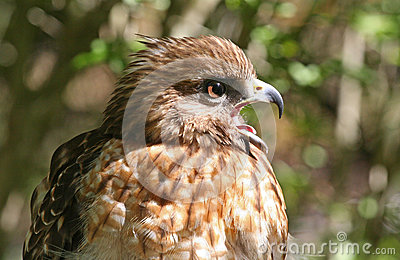 Profile of a Red Shouldered Hawk Raptor
