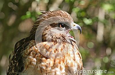 Profile of a Red Shouldered Hawk Raptor