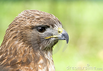 Profile of a Red-Tail Hawk (Buteo jamaicensis)