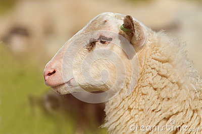 Profile of a sheep