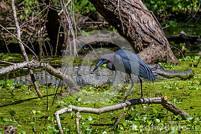 Profile Shot of a Little Blue Heron (Egretta caerulea) in Front of a Giant Wild Alligator in Texas.