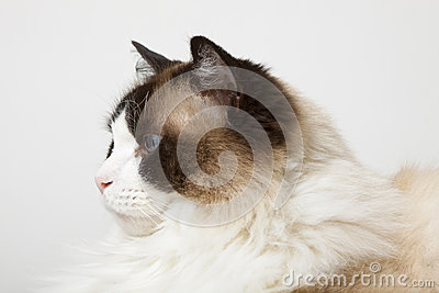Profile of Siamese Ragdoll Cat