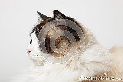 Profile of Siamese Ragdoll Cat