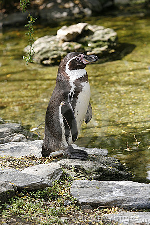 Profile view of a Humboldt penguin