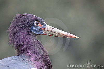 Profile of a White Bellied Stork