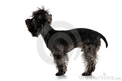 Profile Yorkshire terrier