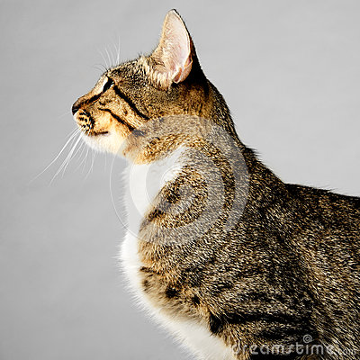 Profile Of Young Brown Tabby Cat On Gray Background Stock Photography Image 36807952