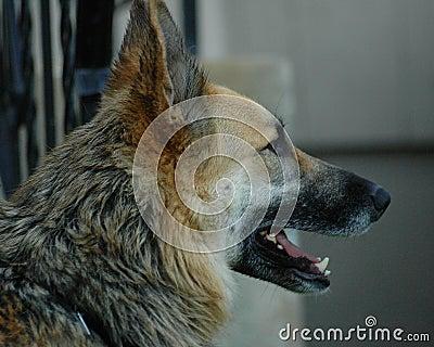 Profilo del pastore tedesco