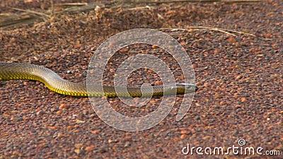 Profilsikt av en gwardar orm lager videofilmer
