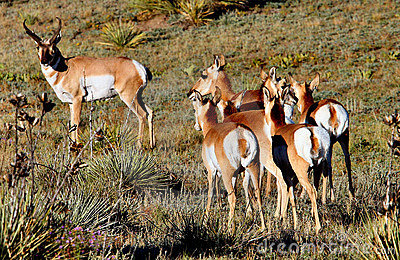 Pronghorn Antelope Buck & Does