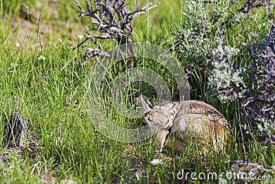 Pronghorn Antelope fawn