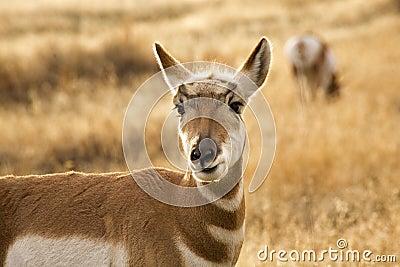Pronghorn Antelope Grazing Montana