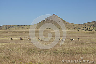 Pronghorn Herd on the Prairie