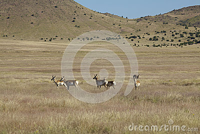 Pronghorns Standing on the Prairie