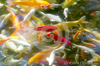 Prosperity koi fishes