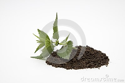 Prostrate plant