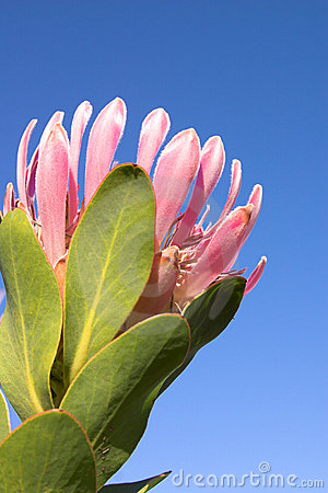 Free Protea Stock Images - 1009994