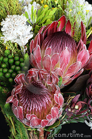 Free Protea Stock Images - 7617774