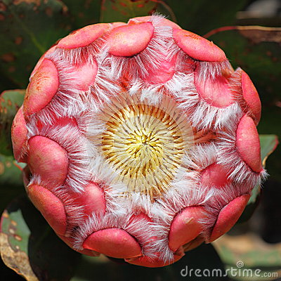 Protea flower head pink hairy petals