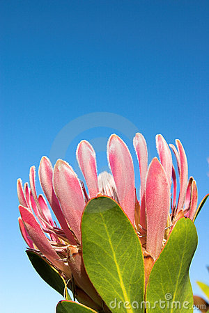 Free Protea1 Royalty Free Stock Images - 1201369