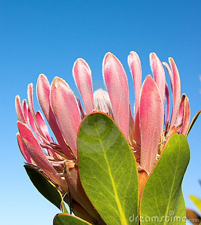 Free Protea2 Royalty Free Stock Images - 1009929