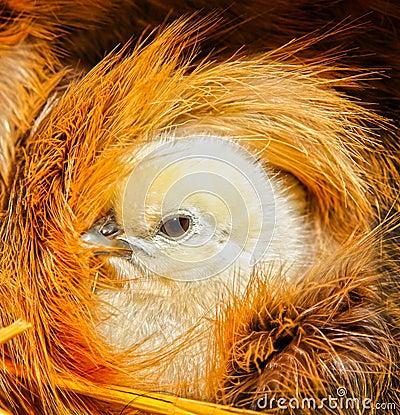 Cute chicken chick bird