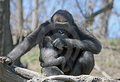 Protective Mother Gorilla