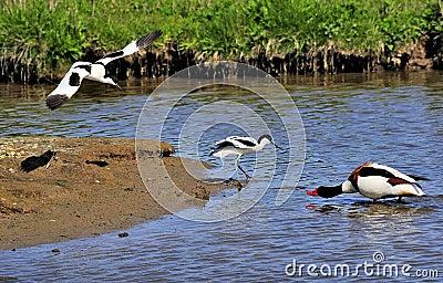Protective parent Avocets (Recurvirostra avosetta)
