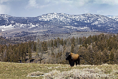 Proud American Bison Stands Alone