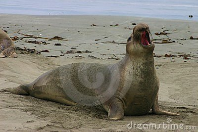 Proud Elephant Seal
