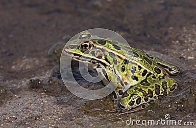 Proud Leopard Frog