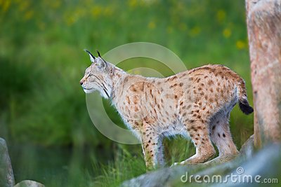 Proud lynx scout for prey