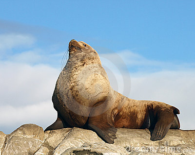 Proud Male Wild Steller Sea Lion