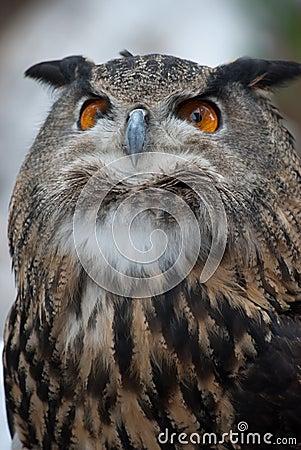 Proud Owl