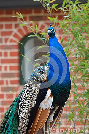 Free Proud Peacock Standing Stock Images - 40513724