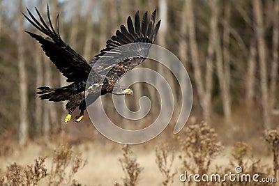 Proud Predator In Flight
