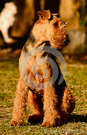 Free Proud Show Off Pedigree Airedale Terrier Dog Just  Stock Images - 33799294