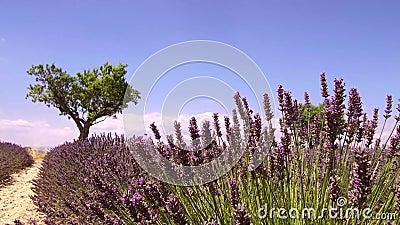 Provence, Francia, campos de la lavanda floreciente florece - el clip de la cámara lenta metrajes