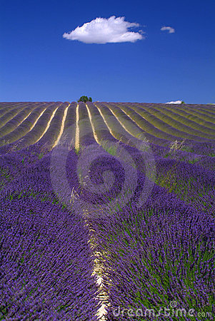 Free Provence - Hill Of Lavender Stock Image - 2870991
