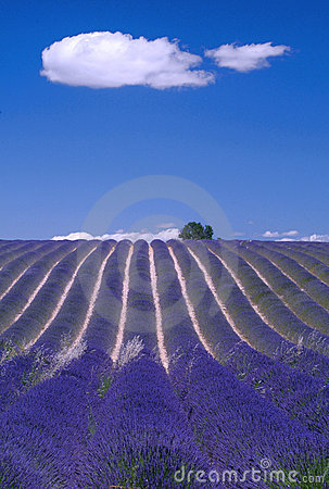 Free Provence - Hill Of Lavender Royalty Free Stock Photos - 2870998